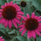 Echinacea big sky after midnight