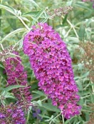 Buddleja davidii nanho purple