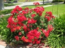 Rosa `double knockout - tree