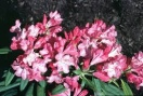 Rhododendron yak. `prince`