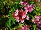 Sedum spurium dragons blood