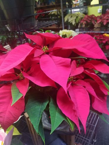Poinsettias $4.79 & up