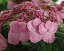 Hydrangea macrophylla endless summer twist-n-shout