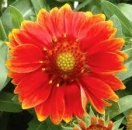 Gaillardia gallo orange