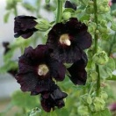 Alcea rosea blacknight