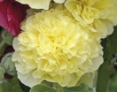 Alcea rosea chaters double hybrids - yellow
