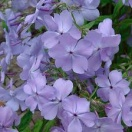 Phlox divaricata blue moon