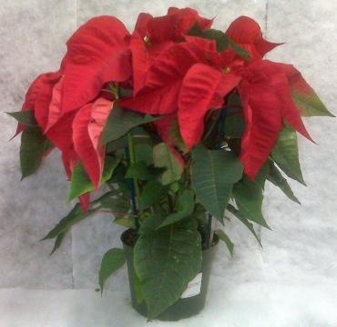 Potted poinsettia - $4.79 and up