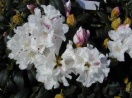 Rhododendron yak. `princess`