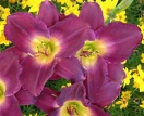 Hemerocallis strutters ball