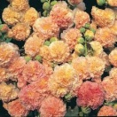 Alcea rosea peaches n dreams