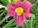 Hemerocallis little grapette