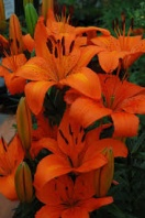 Lilium orange pixie