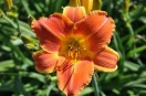 Hemerocallis bright sunset