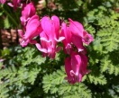 Dicentra king of hearts