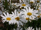 Leucanthemum vulgare may queen