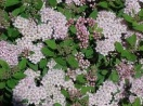 Spiraea japonica little princess