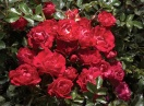 Rosa red drift