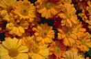Chrysanthemum glowing embers