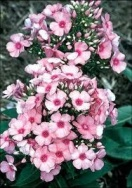 Phlox flame series - light pink