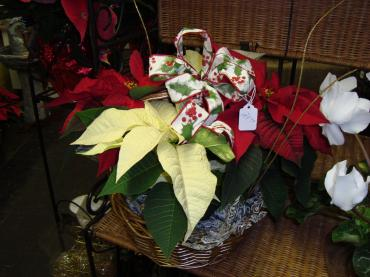 Red & White Poinsettia