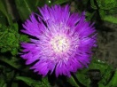 Stokesia laevis honeysong purple