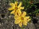 Coreopsis verticillata golden dream