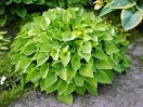 Hosta gold edger