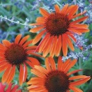 Echinacea big sky sundown