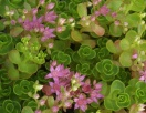 Sedum spurium john creech