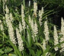 Liriope muscari monroes white