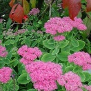 Sedum spectabile brilliant