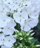 Phlox flame series - white