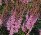 Astilbe chinensis purple candles