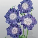 Scabiosa japonica var. alpina blue diamonds