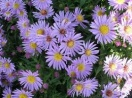 Aster woods light blue