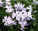 Phlox emerald cushion blue