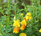 Cytisus `madame butterfly`