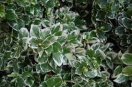 Euonymus fortunei `moonshadow`