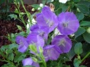 Campanula carpatica blue clips